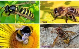 Vad är skillnaden mellan veps, bi, humle, hornet