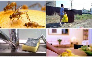 Hur bli av med små flugor i lägenheten