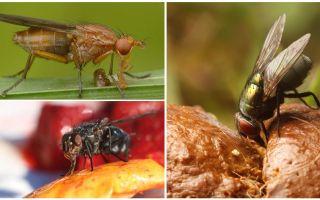 Vilka flugor äter