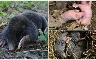 Beskrivning och bilder av nyfödda mollar