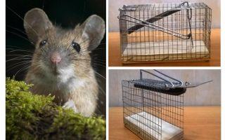 Mousetrap bur