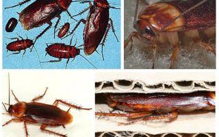 Afrikanska kackerlackor (amerikanska)