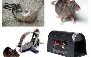 Fällor för råttor