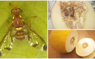 Beskrivning av en melonfluga och metoder för att hantera den
