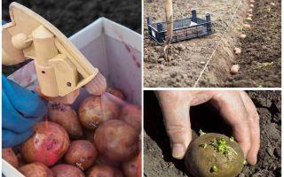 Innan plantering bearbetas potatisen från Colorado-potatisbaggen och wireworm