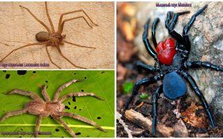 Beskrivning och bilder av de farligaste spindlarna i världen