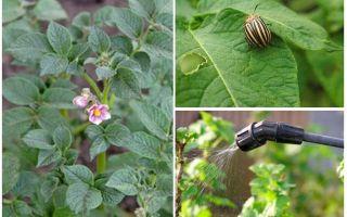 Är det möjligt att bearbeta potatis från Coloradobaggar under blomning