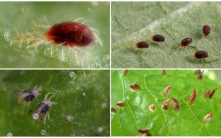 Beskrivning och foto spider mite