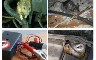 Hur bli av med råttor under huven på en bil