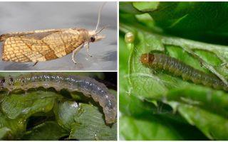 Hur bli av med moths på currants
