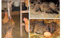 Hur man hanterar råttor i hönshuset