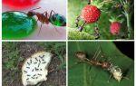 Vilka myror äter i naturen