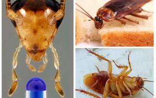 Livslängden hos den inhemska kackerlackan