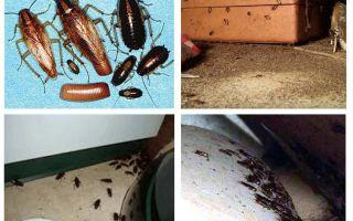 Vad syns kackerlackor i huset, omens