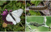 Beskrivning och foto av larven och fjärilen Hawthorn hur man kämpar