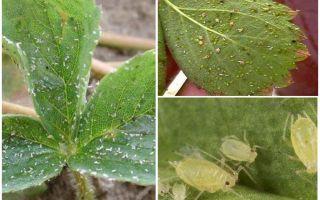 Metoder för att hantera bladlöss på jordgubbar