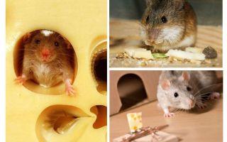 Möss äter ost eller inte