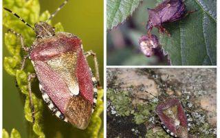 Berry bugs