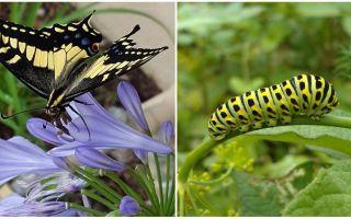 Att sätta en larv i en fjäril