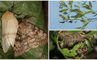 Beskrivning och foto av Gypsy Moth caterpillar