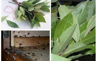 Så här använder du bladblad mot kackerlackor