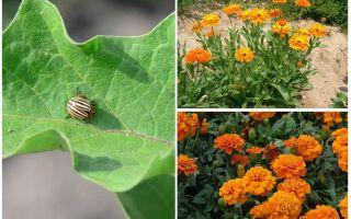 Hur man skyddar och skyddar äggplantor från Colorado-potatisbageln