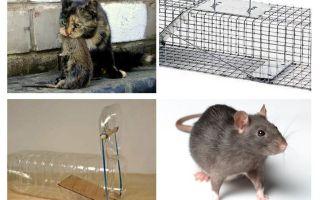 Hur man får råttor ur ett privat hus