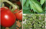 Bladlöss på tomater - vad man ska bearbeta och hur man ska slåss