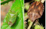 Huruvida homebugs eller bedbugs luktar