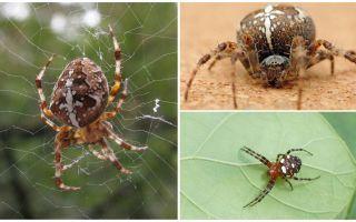 Korsfarare Spider Beskrivning och Foton
