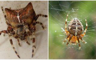 Spindel jogga: foto och effekter efter en bit