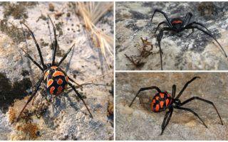Beskrivning och bilder av Kazakstan spindlar