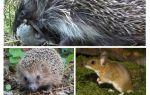 Hedgehogs äter möss
