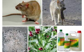 Hur man tar bort råttor från barnläkemedlet
