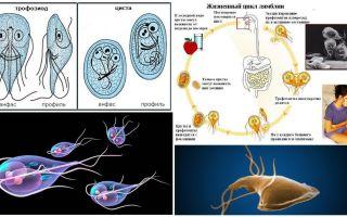 Livscykel av Giardia och behandling av cystor