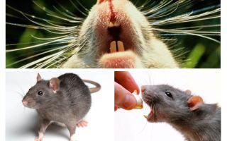 Råtta squeak