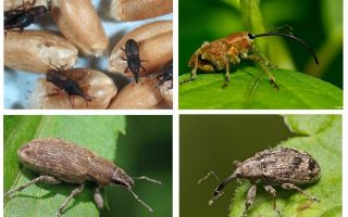 Beetle weevil och dess larver