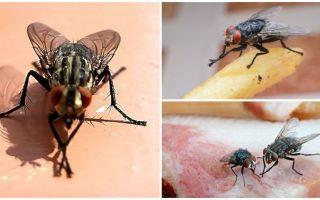 Varför flugor gnuggar sina tassar