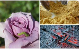 Hur man sprayar rosor från larver och bladlusar