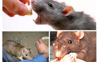 Vad ska man göra om en råttbit