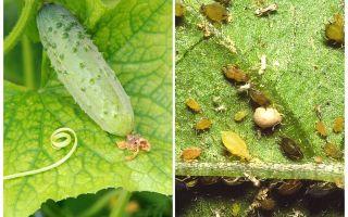 Vad och hur man hanterar bladlöss på gurkor i växthus och öppna fält