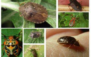 Typer och sorter av bedbugs