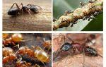 Trädgårds myror skadar och gynnar