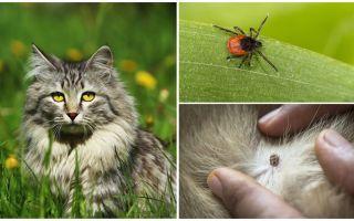Vad man ska göra och hur man behandlar ett fäst i en katt eller katt
