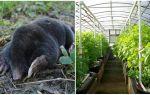 Hur man hanterar mol i ett växthus