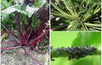 Hur bli av med bladlus på betor