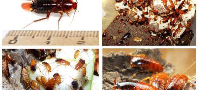 Funktioner avel Turkmen kackerlackor