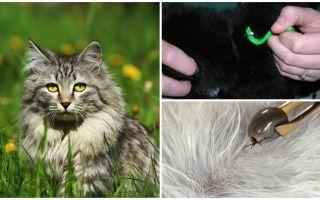 Hur man tar bort en ficka från en katt eller katt