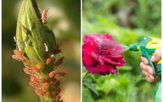 Granskning av de bästa bladlusmedikationerna