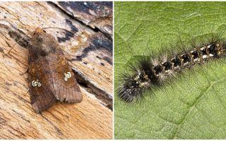 Beskrivning och foto av fjärilar och larver skopar hur man kämpar